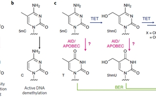 APOBEC for DNA methylation analysis