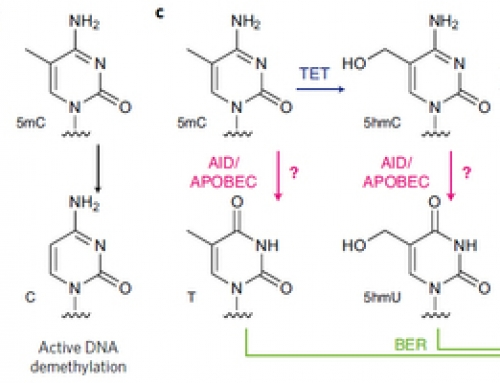 APOBEC-Seq for DNA methylation without the bisuflite